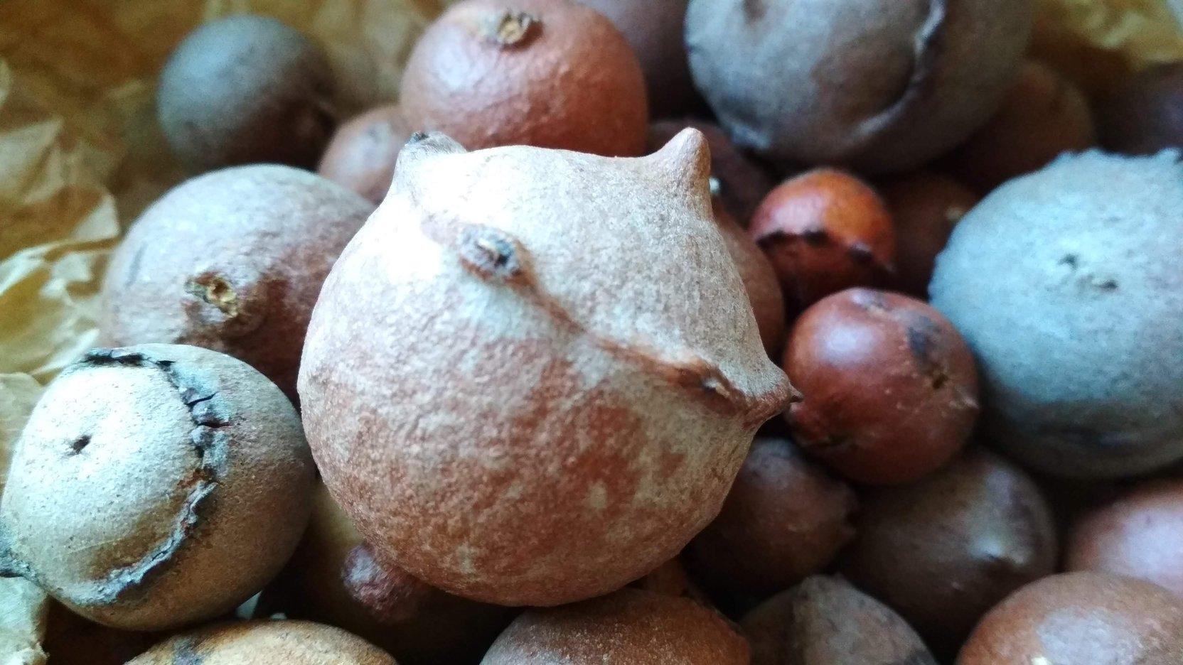 galle di quercia